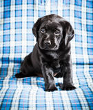 Beautiful Black Labrador Puppy Dog Royalty Free Stock Photo