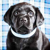 Beautiful Black Labrador Puppy Dog Stock Photography