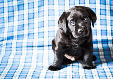 Beautiful Black Labrador Puppy Dog Stock Image