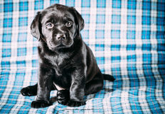 Beautiful Black Labrador Puppy Dog Stock Images