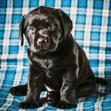 Beautiful Black Labrador Puppy Dog Stock Photos