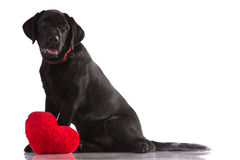 Beautiful black Labrador. Beautiful black Labrador with a red heart isolated on white background Stock Images