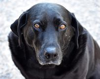 Black Labrador Retriever Looking Closeup. Beautiful Black Labrador Retriever Dog looking amused at the camera, Closeup view of man`s best friend royalty free stock photo