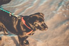 Beautiful Black Labrador Retriever standing at the beach with a dog collar. Dog on the beach stock photography