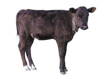 Beautiful black little pretty calf isolated over white Royalty Free Stock Photos