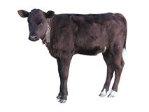 Beautiful black little pretty calf over white Stock Photo