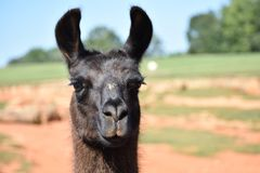 Llama standing in the field on a bright sunny day. Beautiful black llama standing in the field on a bright sunny day royalty free stock image