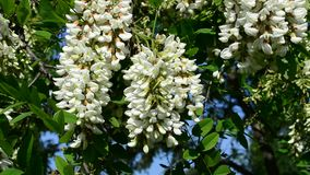 Beautiful black locust blossom swaying in wind with a bee stock footage