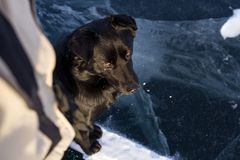 A beautiful black mongrel wild dog looks at the sun during the sunset and a man next to her on the beautiful fairy blue ice. A beautiful black mongrel wild dog Stock Photography