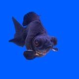 Beautiful black moor goldfish Royalty Free Stock Image