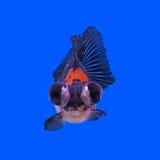 Beautiful black moor goldfish Stock Images