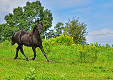 Beautiful black Morgan Horse running. A beautiful black Morgan stallion runs around the hill top green pasture with blue skies in the background HDR royalty free stock photo