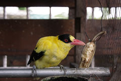 Beautiful Black-naped Oriole stock photography