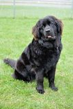 Beautiful Black Newfoundland. A 6 month old fuzzy black Newfoundland puppy Stock Photos
