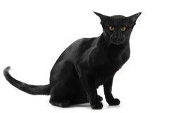 Beautiful black oriental cat Stock Photos