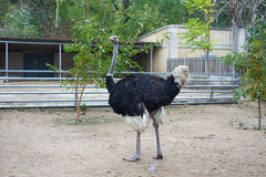 Beautiful black ostrich walking on the zoo. In Odessa, Ukraine Royalty Free Stock Image