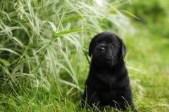 Beautiful black pedigree Labrador puppy Stock Photos