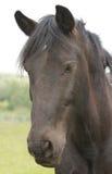 Beautiful black pony Royalty Free Stock Image