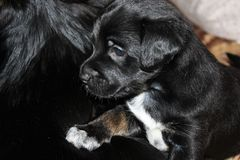 A beautiful, black puppy sits comfortably in the living room stock images
