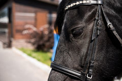 Beautiful black purebred horse with bridle Stock Images