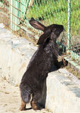 Beautiful black rabbit Stock Images