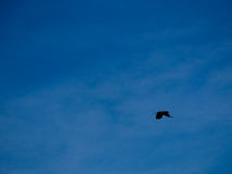 Beautiful black Raven flying in the sky Royalty Free Stock Image
