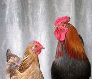 Beautiful black-red cock and brown chicken Stock Photography