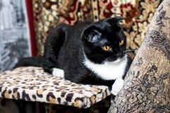 Beautiful black Scottish fold cat. Beautiful cats in house theme Stock Photo