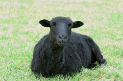 Beautiful black sheep Royalty Free Stock Images