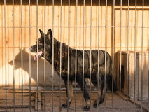 Beautiful black shepherd locked in a cage in the evening rays of the sun. Stock Image