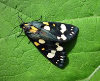 Black wild butterfly on green leaf, Lithuania. Beautiful black shining butterfly on green leaf Royalty Free Stock Photo