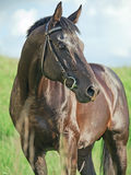 Beautiful  black sportive stallion in field Stock Photo