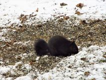 Life`s Cold Hunger. This is a beautiful black squirrel looking for food in the winter among  the snow in a yard Royalty Free Stock Photo