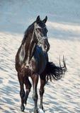 Beautiful black stallion in the desert Stock Photography