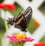 Beautiful Black Swallowtail butterfly Stock Image