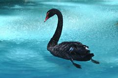 Free Beautiful Black Swan Royalty Free Stock Photo - 23080275