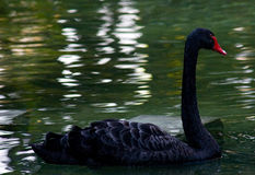 Beautiful black swan. Swimming in pond Royalty Free Stock Photo