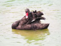 Beautiful black swan Stock Photography