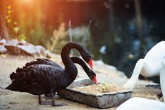 Beautiful Black Swan (Cygnus atratus. Swans, bird, animal, nature, lake, water, background, beak, wild, wildlife, outdoor, red, feathers, one, pond, close stock images