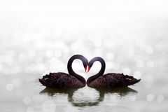 Beautiful black swan in heart shape on white lake bokeh Stock Images