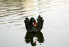 Beautiful black swan with reflection swimming on autumn water Royalty Free Stock Photography