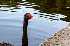 Beautiful black swan swims in a pond in a city park royalty free stock image