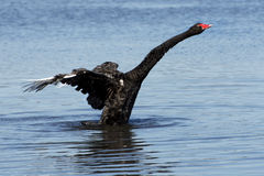Beautiful black swan taking flight out of the water. Black swan taking flight Perth WA Royalty Free Stock Images