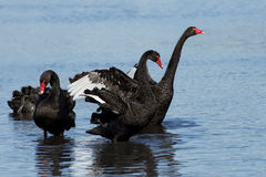 Beautiful Black Swans on a lake in Perth WA. Western Australia`s beautiful black swans Stock Photos