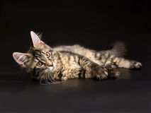 Beautiful black tabby Maine Coon kitten on black Royalty Free Stock Photo