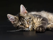 Beautiful black tabby Maine Coon kitten on black Royalty Free Stock Images