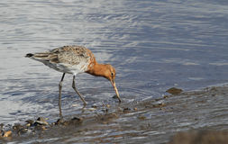 A beautiful Black-tailed Godwit in summer plumage Limosa limosa feeding along the shoreline. A stunning Black-tailed Godwit in summer plumage  Limosa limosa Stock Photo