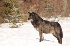 Beautiful black timber wolf. In snow Stock Images