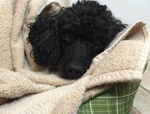 Beautiful black toy poodle all bundled up Stock Photos