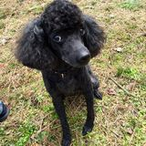 Beautiful black toy poodle sitting pretty Stock Image